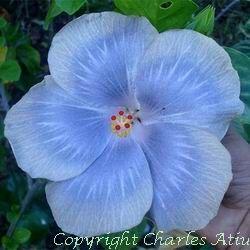 Moorea Eccentric Blue