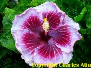 9 Moorea Charles Heart