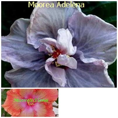 Adelena
