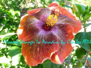 13 Moorea Stranger in Paradise