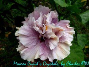 15 Moorea Cupid's  Crystals