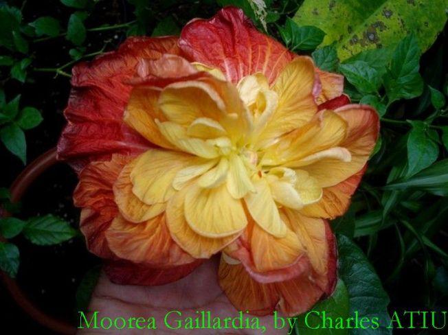 15 Moorea Gaillardia