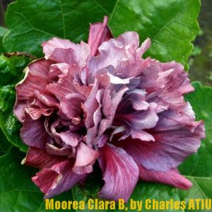 1Moorea Clara B.