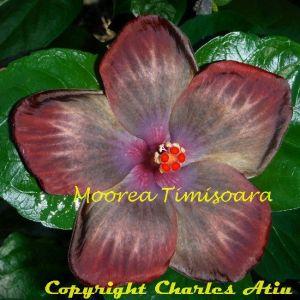 9 Moorea Timisoara