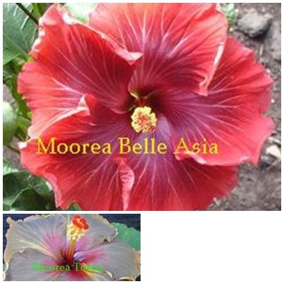 Belle Asia