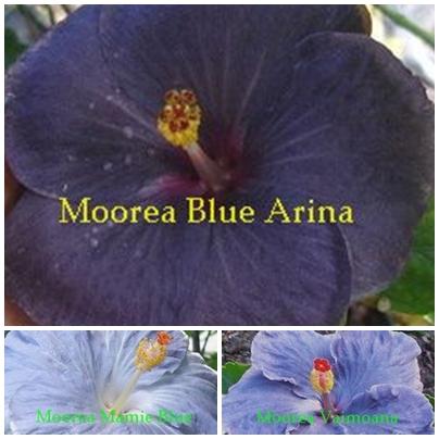 Blue Arina