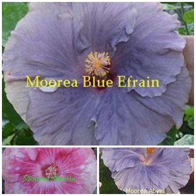 Blue Efrain