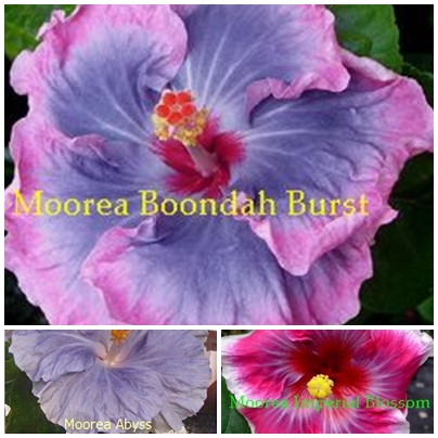 Boondah Burst