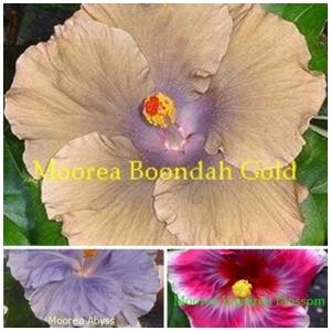 Boondah Gold