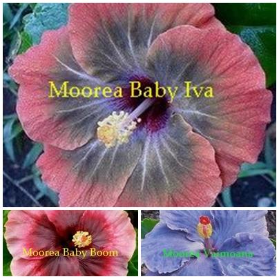 M. Baby Iva
