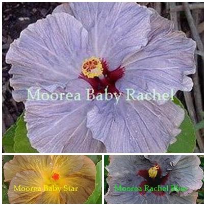 M. Baby Rachel