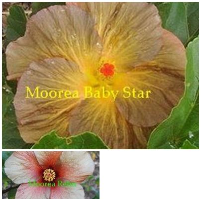 M. Baby Star