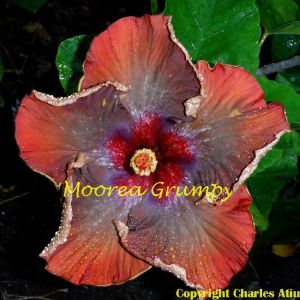 Moorea Grumpy