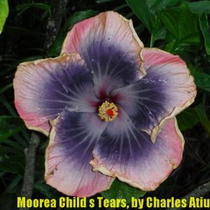 1 Moorea Child's Tears