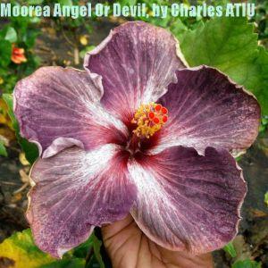 11 Moorea Angel Or Devil