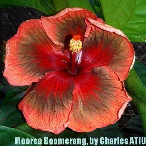 11Moorea Boomerang