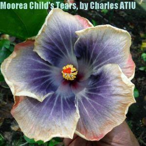 13 Moorea Child's Tears