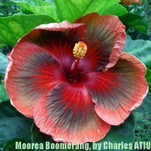 15 Moorea Boomerang