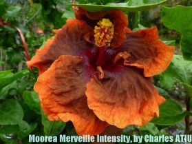 15 Moorea Merveille Intensity