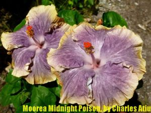 23 Moorea Midnight Poison