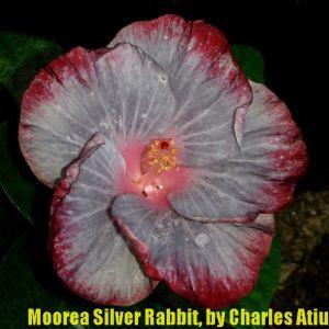 5 Moorea Silver Rabit