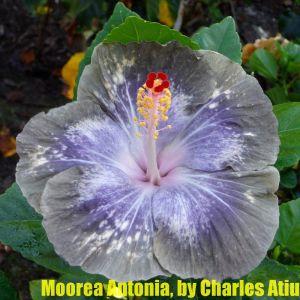 6 Moorea Antonia