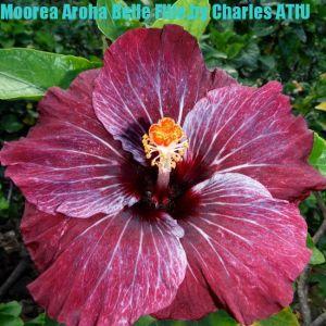 10 Moorea Aroha Belle Fille