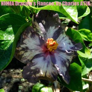 10NMMA Dracula's Fiancée