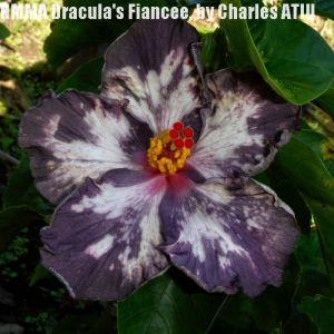 11 NMMA Dracula's Fiancée
