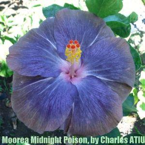 1Moorea Midnight Poison