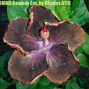 1NMMA Bombay Cat