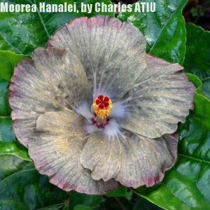 29 Moorea Hanalei