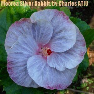 4Moorea Silver Rabbit