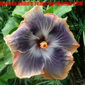 6 Moorea Child's Tears