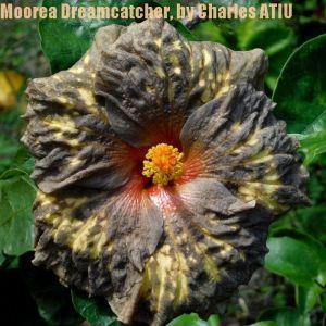 7 Moorea Dreamcatcher