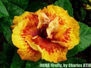 9 IMMA Firefly