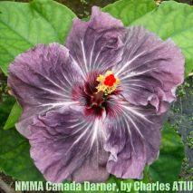 NMMA Canada Darner