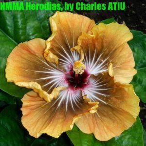 NMMA Herodias