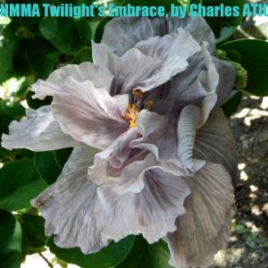 NMMA Twilight's Embrace