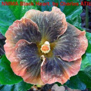 26 NMMA Black Heart