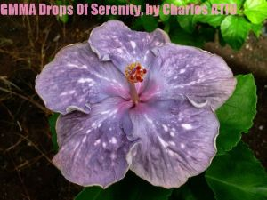 12 GMMA Drops of Serenity