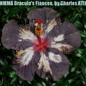 4 NMMA Dracula's Fiancée