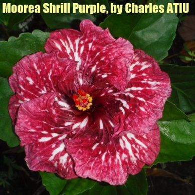 6 Moorea Shrill Purple