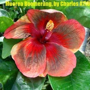 8 Moorea Boomerang