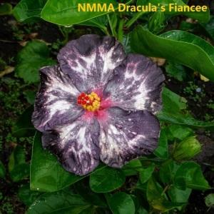 14 NMMA Dracula's Fiancee