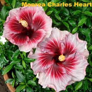 15 Moorea Charles Heart