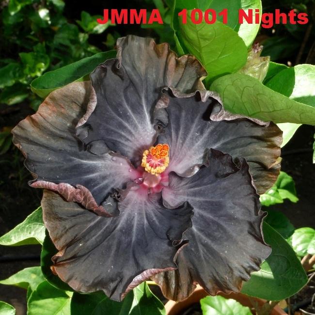 2 JMMA  1001 Nights