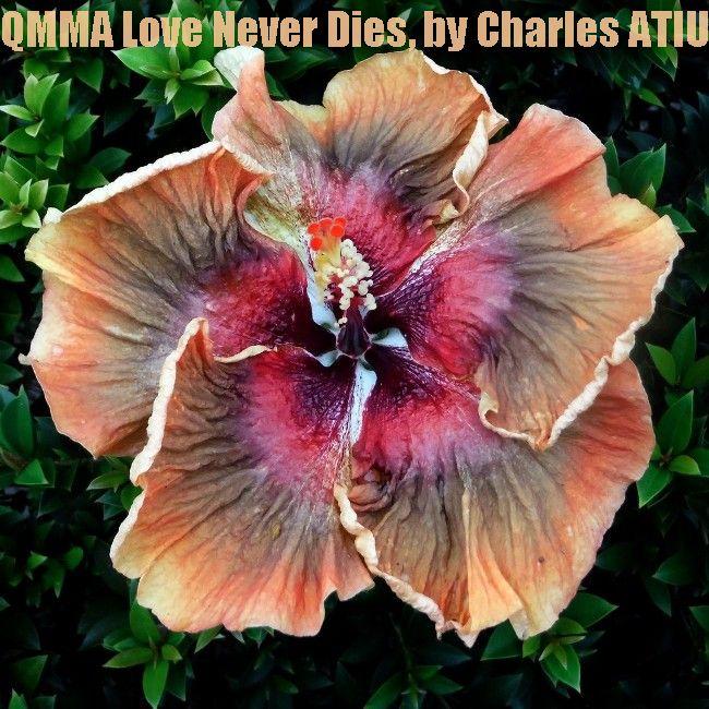 2-QMMA Love Never Dies