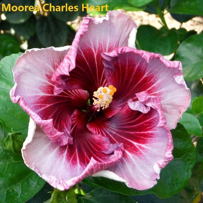 7 Moorea Charles Heart