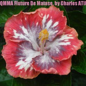 8 QMMA Fluture De Matase